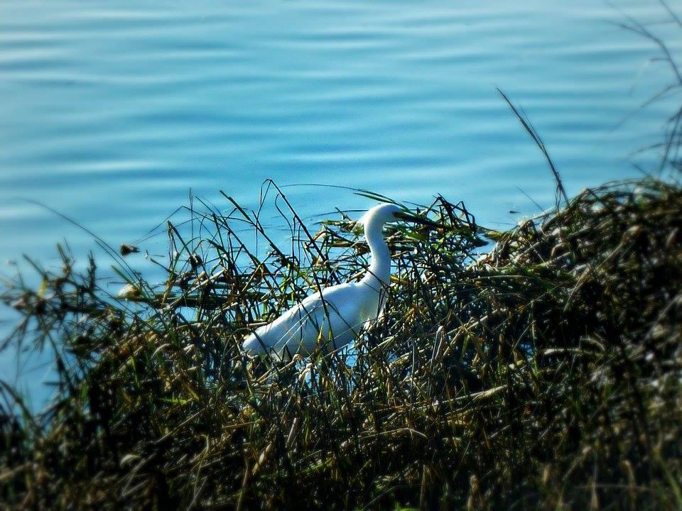 Snowy Egret at Batiquitos Lagoon